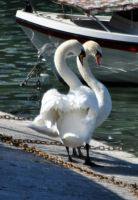 swans in love by Nanook94