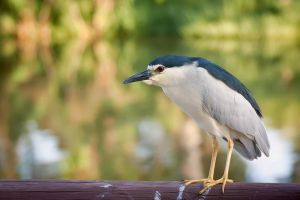 Black-crowned Night-Heron by rat-or-rat