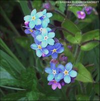 Forget Me Not Flowers by Hitomii