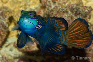 Mandarinfish by Tianare