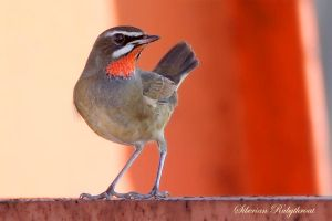 Siberian Rubythroat strutting its stuff by Jamie-MacArthur