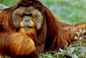 Orangutan by Art-Photo