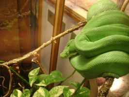 Green Tree Python by laura-worldwide