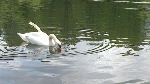 Swan 5 - stock13 by whyou