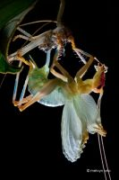 Molting Cricket by melvynyeo