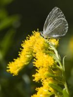 Sring Azure and Goldenrod by dogman63