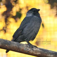 Jackdaw by Carcaneloce