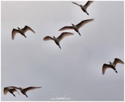 Flight of the Egrets by SuicideBySafetyPin
