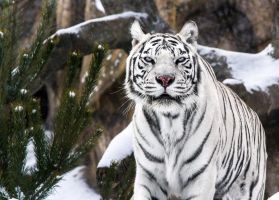 White Tigress V by OrangeRoom