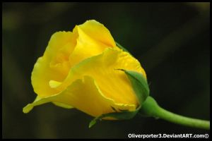 Single Yellow Rose by oliverporter3
