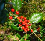 Holly berries 4 by marshwood