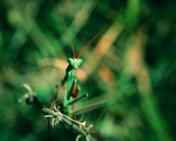 Mantis religiosa 3 by blackasmodeus
