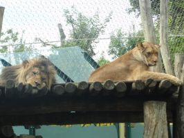 Lions by Almile