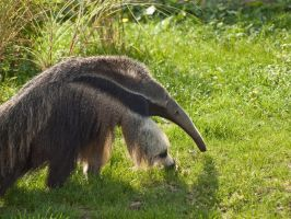 Anteater 01 - Sep 13 by mszafran