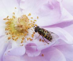 ..,Hover fly.. by duggiehoo