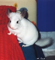 Picasso Chinchilla at Runtime by Villa-Chinchilla