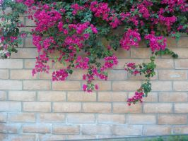 bouginvillia wall stock 2 by haunted-shadows17
