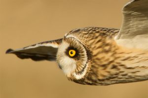 Intensity - Short-eared Owl by Jamie-MacArthur