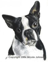 Boston Terrier by bivoirart