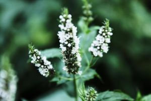 mint blossom by julismith