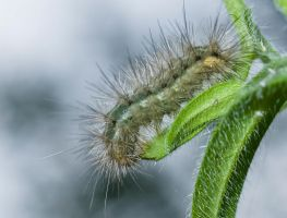 grey caterpillar by katerina-m