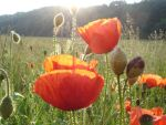 COQUELICOT by randallflag
