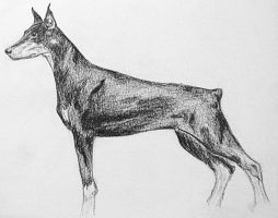 Doberman by alaska1990
