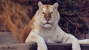 The magnificent beauty of the Golden Tiger by LisyMoreno