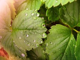 drops on strawberry leaf by florina23