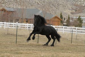 Friesian 001 by Notorious-Stock