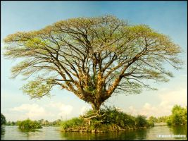Tree in the 4000 islands by partoftime