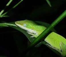Sleeping Anole... by duggiehoo