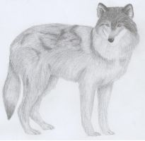 Grey Wolf by manny1212