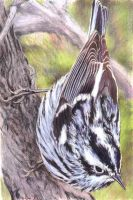 Black and White Warbler by reesmeister