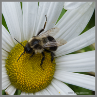Autumn Bee on Daisy by Mogrianne
