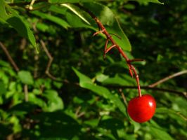 Cherry by astomious