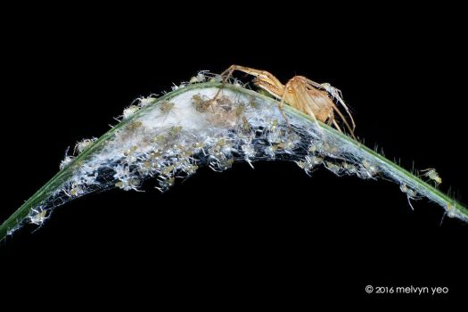 Lynx Spider with babies by melvynyeo