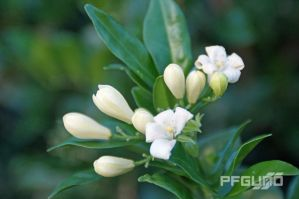 White Flowers And Buds by pfgun0