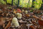 Young Fly Agarics by mladenigor