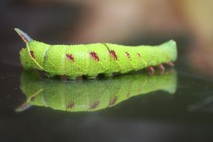 Horny Caterpillar by enginemonkey