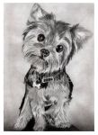 Yorkshire Terrier by jolabrodnica