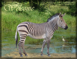 For Zebra Layout by cattlebaron1