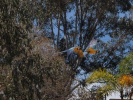 Macaws in flight by photographyflower