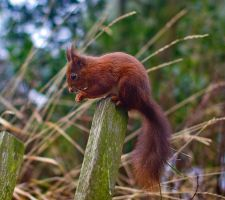 Red Squirrel by 50mmFairy