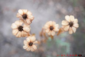 Withering Flowers... by alfred0708