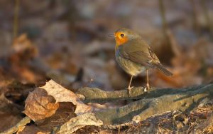 Robin by starykocur