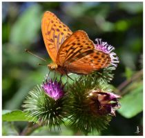 Butterfly for Jocelyne by jankolas
