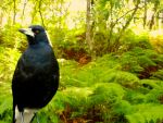 Magpie by MadeleineAlana