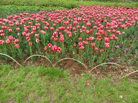 P70411-151114Tulips by xiaccc