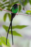 Jamaican Streamertail by secondclaw